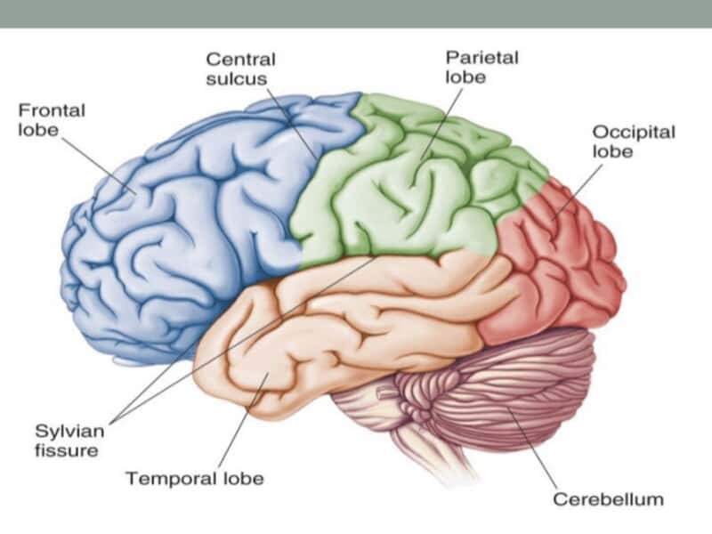 Frontal Lobe - Overview, Anatomy, Functions - BrainPedia.org